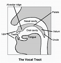 Human vocal tract